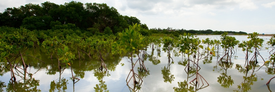 mangroves-in-bali-are-a-vital-part-of-the-coastal-ecosystem_e745-2200x1466px_946x318_scaled_cropp